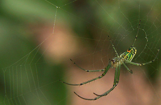 orchard spider photo